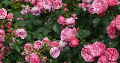 Esterházy-kastély rózsakert